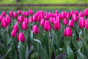 flower_tulips