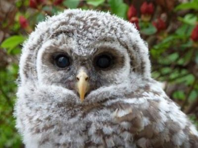 PHOTO OF BARRED OWLET FROM WISE OWL JENNY