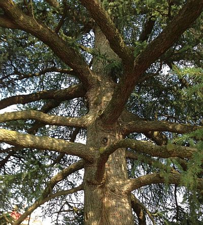 """Wise Old Cedar Tree At Mount Vernon, Virginia, Home Of George Washington."" Image by L Walker"
